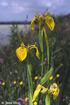 Fleurs d'iris faux acore