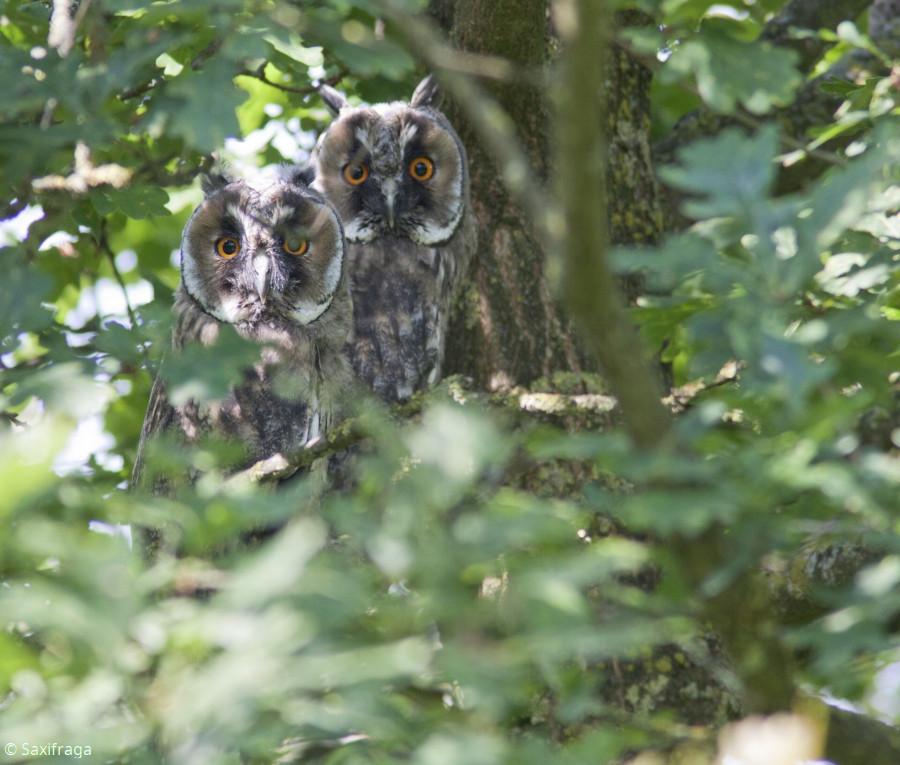 Jeunes hibous moyen-duc