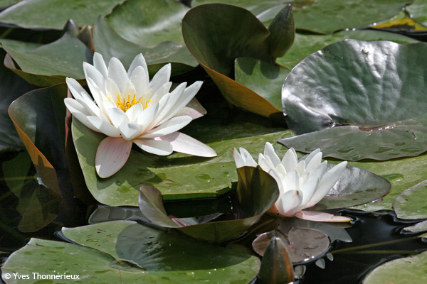 Feuilles et fleurs de nénuphar