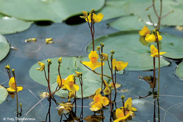 Feuilles et fleurs d'utriculaire